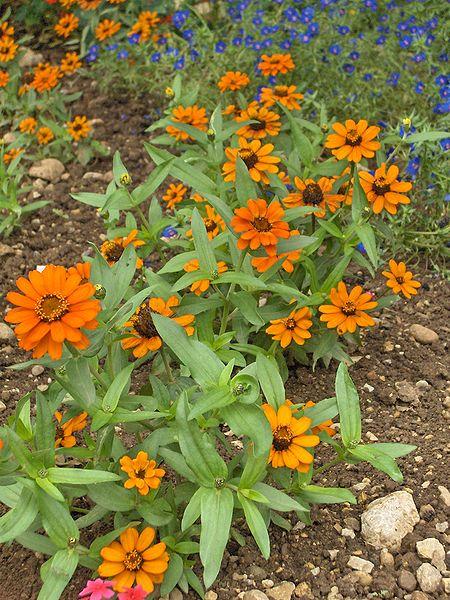 Clavelón (Zinnia angustifolia): Cultivo, riego y cuidados