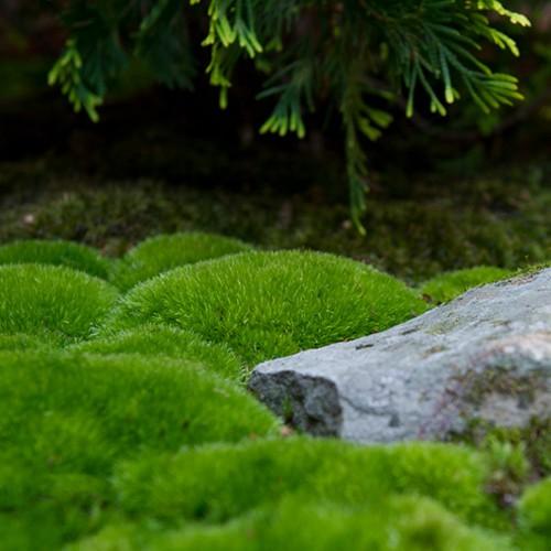 Musgo escoba (Dicranum scoparium): Cultivo, riego y cuidados