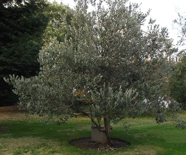 Feijoa (Acca sellowiana): Características y cultivo