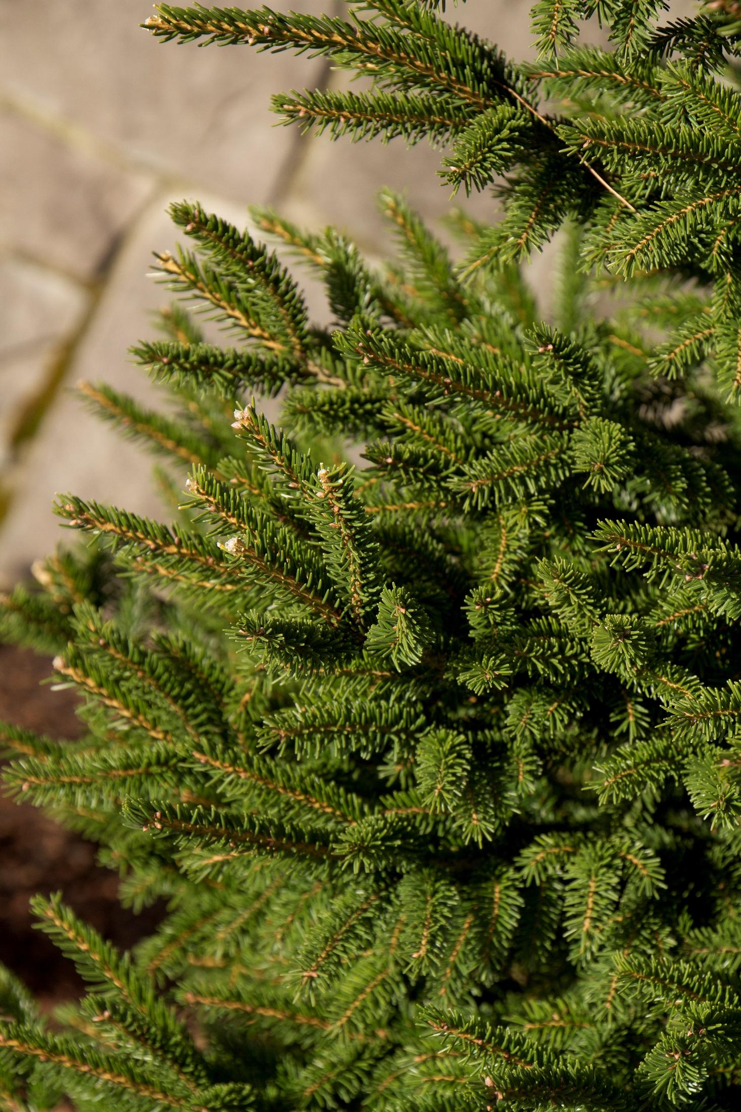 Árboles ornamentales: Picea oriental (Picea orientalis)