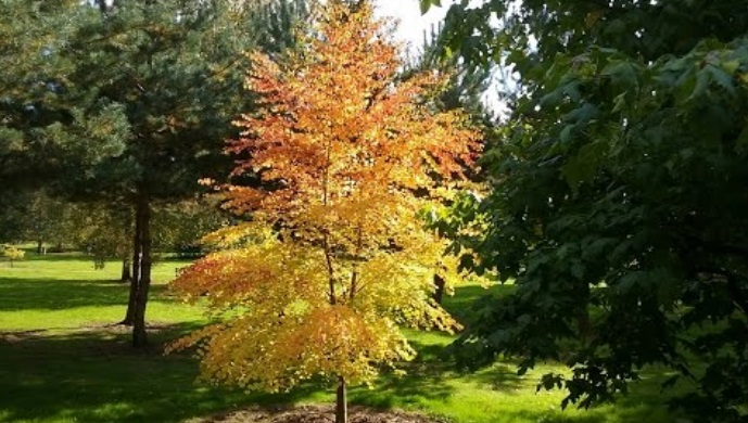 Árboles ornamentales: Sorbus thibetica