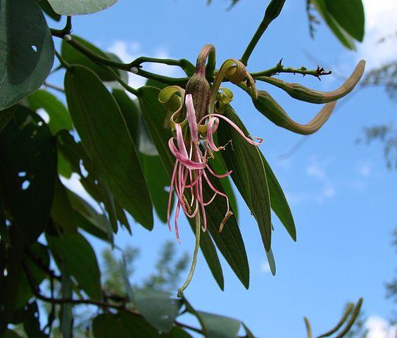 Pata de venado (Bauhinia ungulata): Características y cultivo