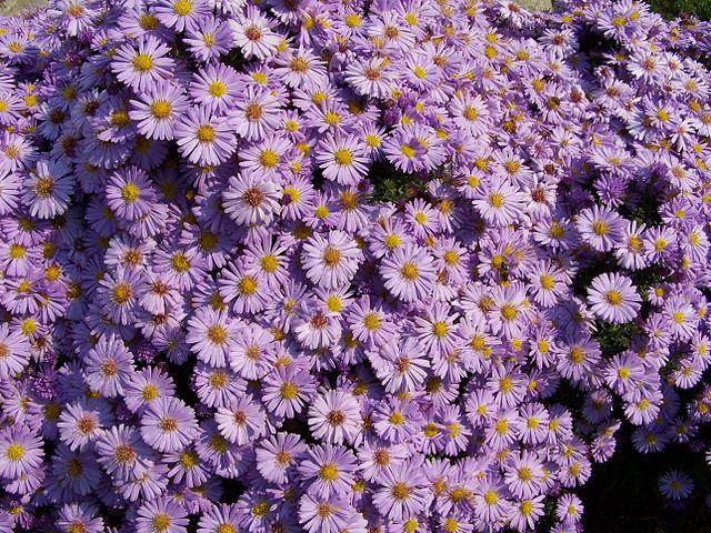 Estrellada (Aster amellus): Características y cultivo
