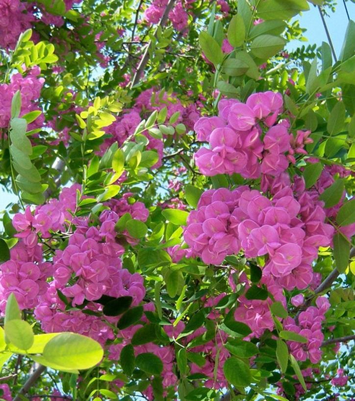 Arboles ornamentales: La falsa acacia rosada (Robinia hispida)
