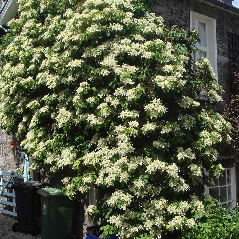 Hortensia trepadora (Hydrangea petiolaris): Cultivo, riego y cuidados