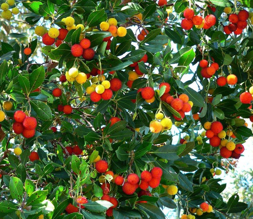 Árboles ornamentales: El madroño (Arbutus unedo)