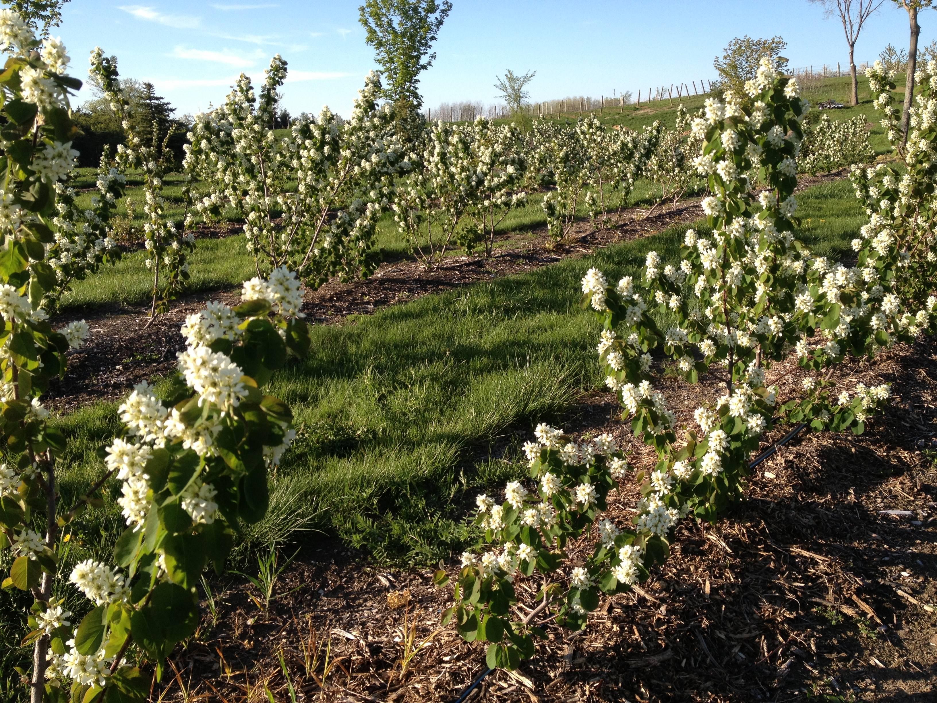 Árboles ornamentales: Saskatun (Amelanchier alnifolia)