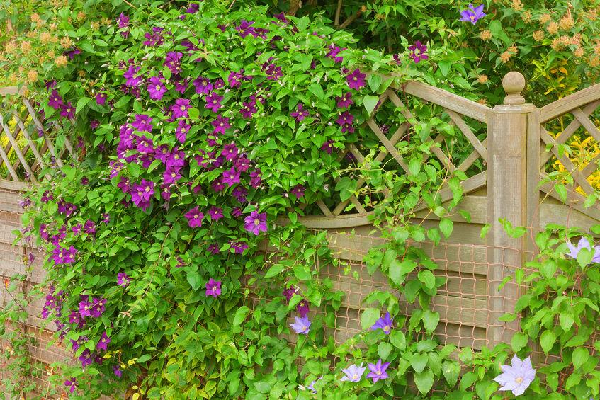 C mo cultivar una planta trepadora plantas flor de for Fachadas con plantas trepadoras