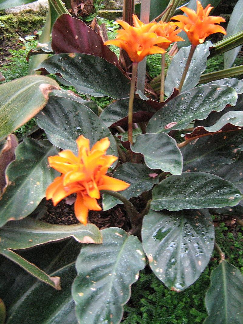 Plantas ornamentales: La Calatea (Calathea crocata)