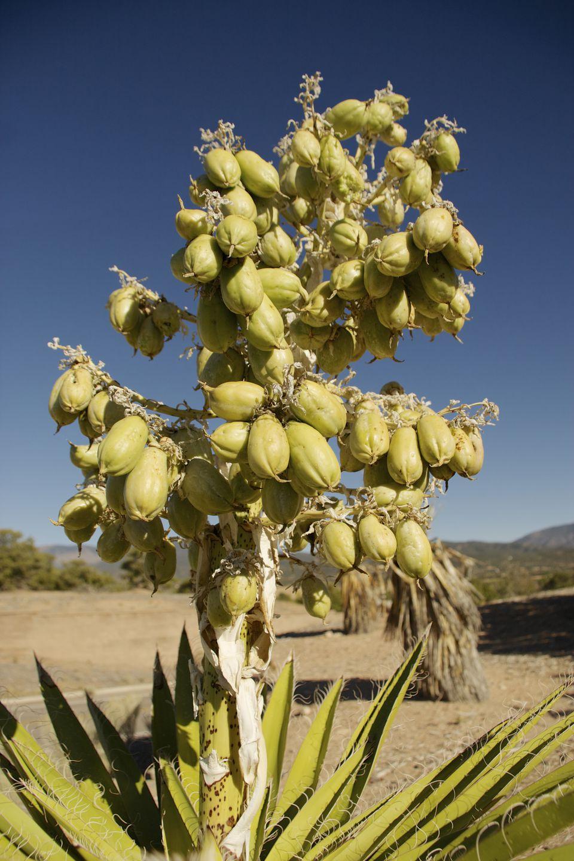 Banana yucca (Yucca baccata): Cultivo, riego y poda