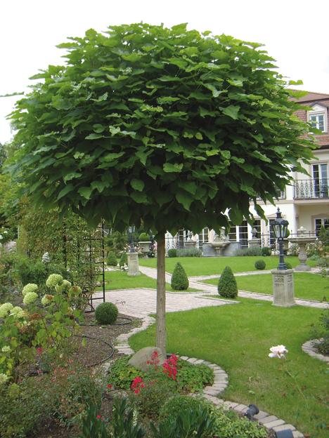Árboles ornamentales: Catalpa (Catalpa bignonioides)