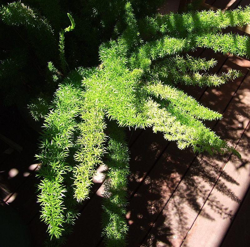 Espárrago helecho (Asparagus aethiopicus): Características y cultivo