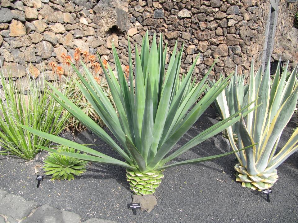 Plantas suculentas: Henequén (Agave fourcroydes)