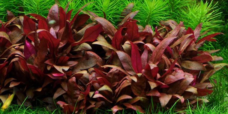 Plantas acuáticas: La Alternanthera reibeckii