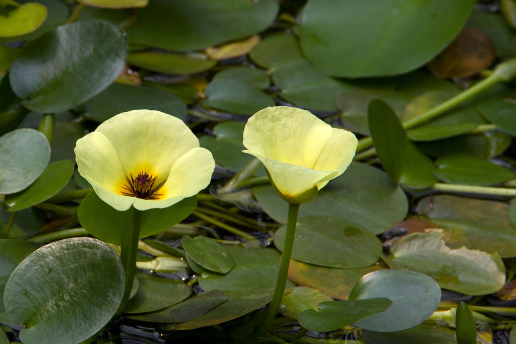 Flores acuáticas: La amapola de agua (Hydrocleys nymphoides)