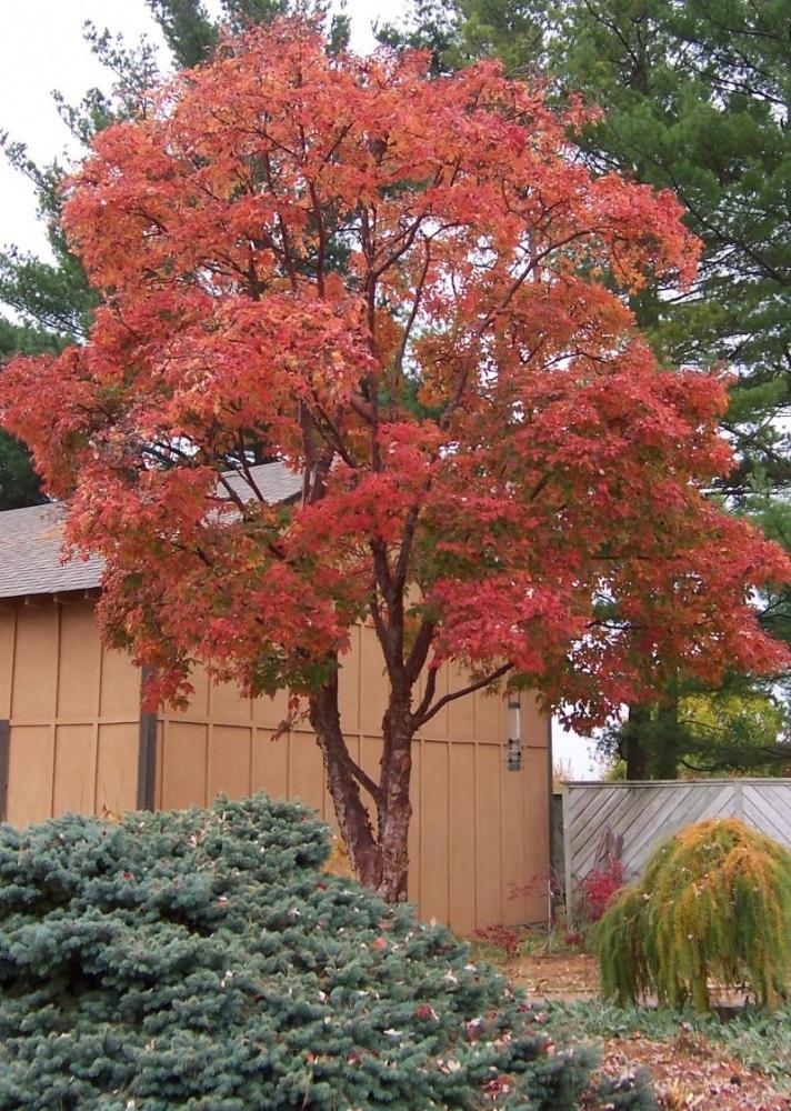 Árboles ornamentales: Arce de papel (Acer griseum)