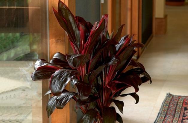 Plantas de interior: La drácena (Cordyline fructicosa)