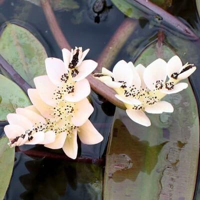 Plantas acuáticas: El espino de agua (Aponogeton distachyos)