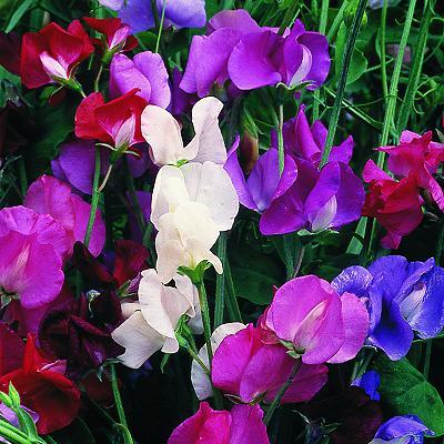 Arvejilla o arveja melodiosa (Lathyrus odoratus): Trucos para obtener mejores plantas