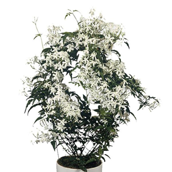 Cultivar jazmín blanco (Jasminum polyanthum) como planta de interior