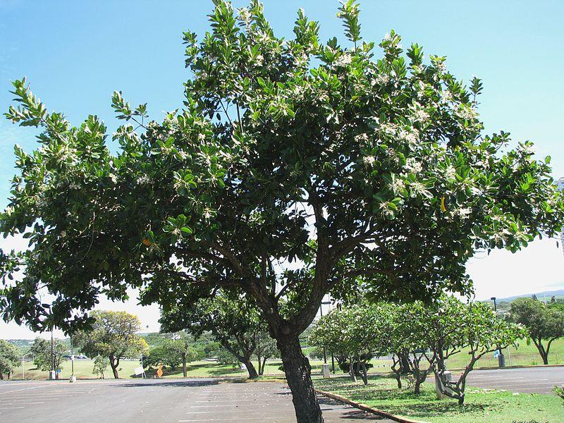 Árboles ornamentales: El laurel de Alejandría (Calophyllum inophyllum)