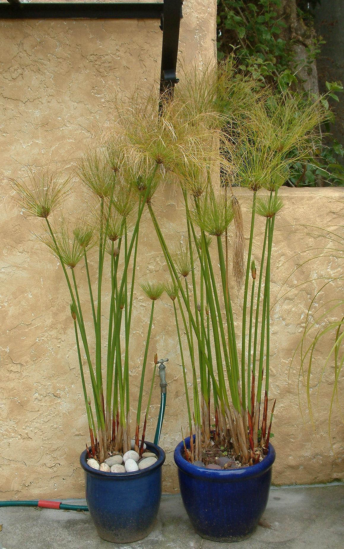 El papiro (Cyperus papyrus): Características y cultivo