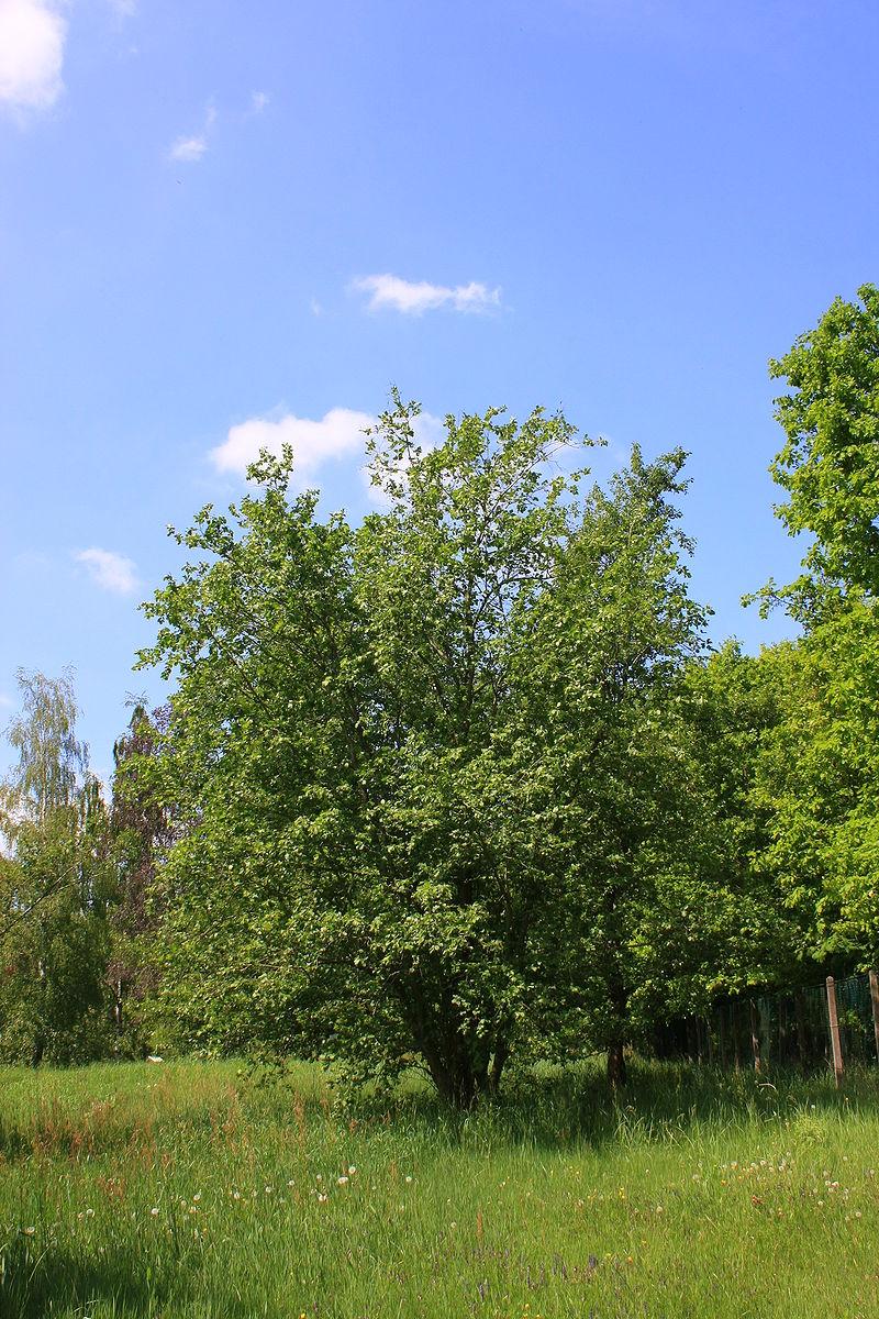 Árboles ornamentales: El aliso gris (Alnus incana)
