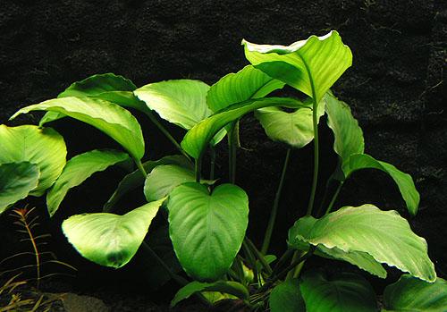 Plantas acuáticas: Anubias barteri