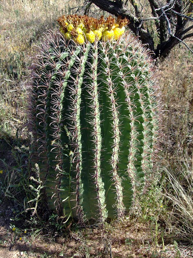 Biznaga de agua (Ferocactus wislizenii): Características y cultivo