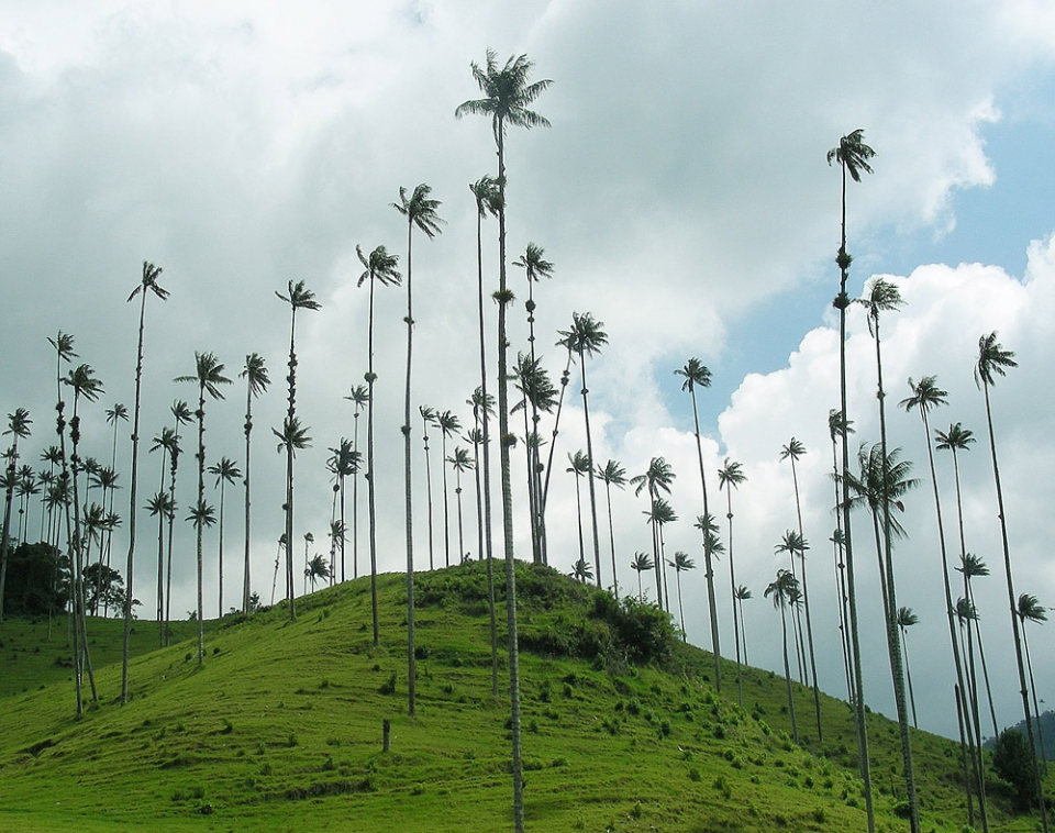 Palmeras ornamentales: La palma de cera del Quindío (Ceroxylon quindiuense)