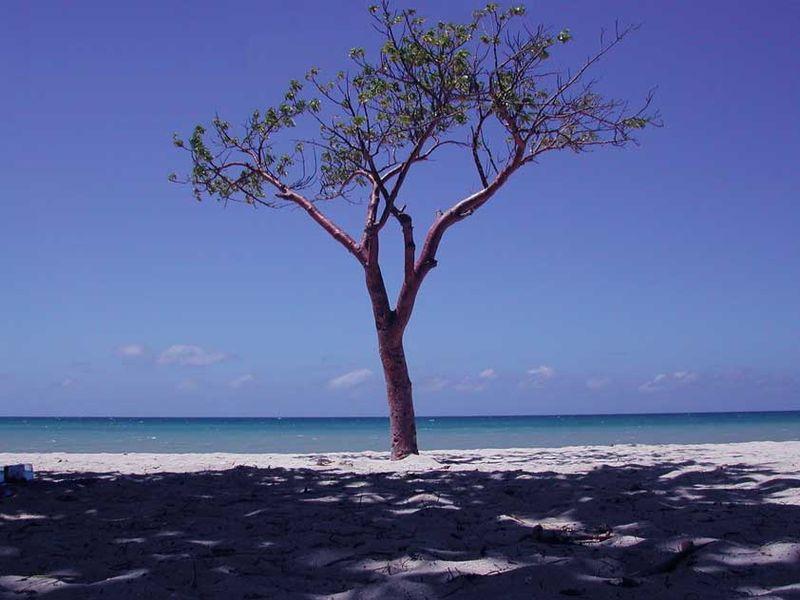 Árboles ornamentales: El jiote (Bursera simaruba)