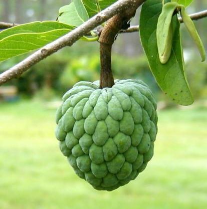 El anón (Annona squamosa): Características y cultivo