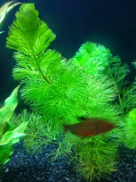 Plantas acuáticas: Cola de zorro (Ceratophyllum demersum)