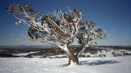 Árboles ornamentales: El eucalipto de nieve (Eucalyptus pauciflora)