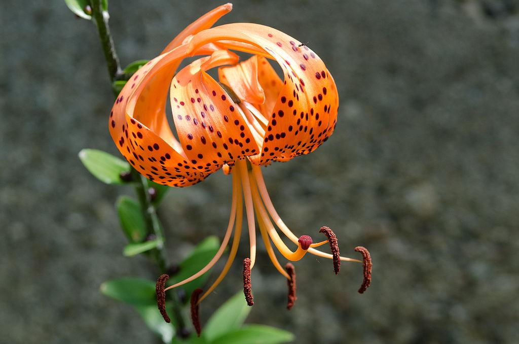 Lirio de tigre (Lilium lancifolium): Cultivo, riego y cuidados