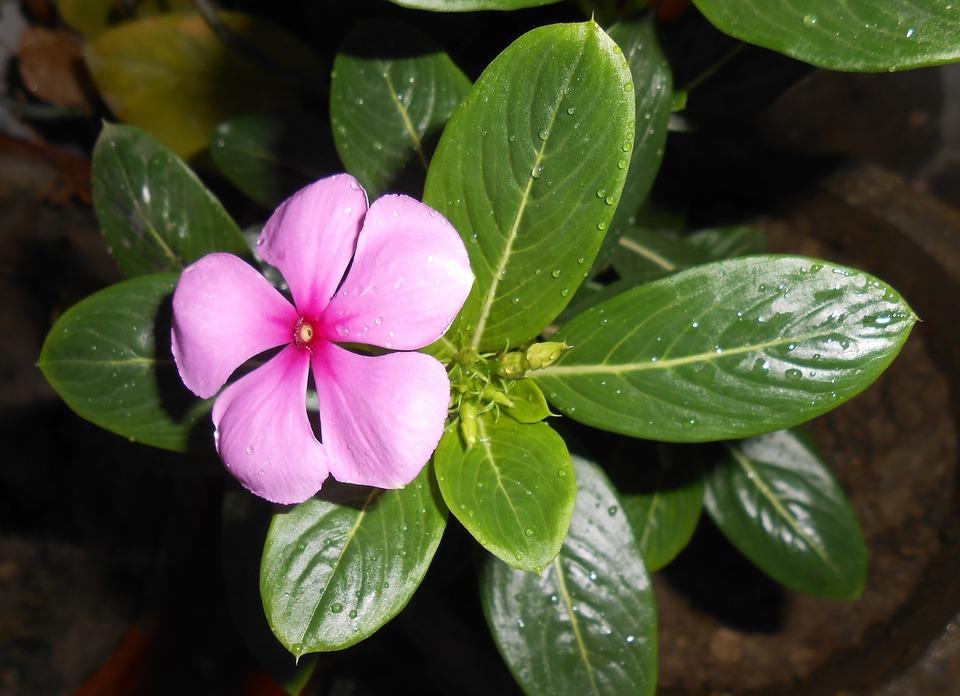Vinca rosada (Catharantus roseus): Cultivo, riego y cuidados