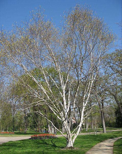Árboles ornamentales: El abedul del Himalaya (Betula utilis var. jacquemontii)