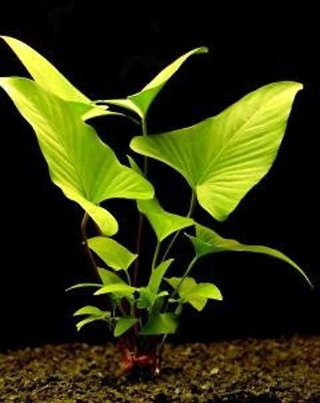 Plantas acuáticas: Anubias gracilis