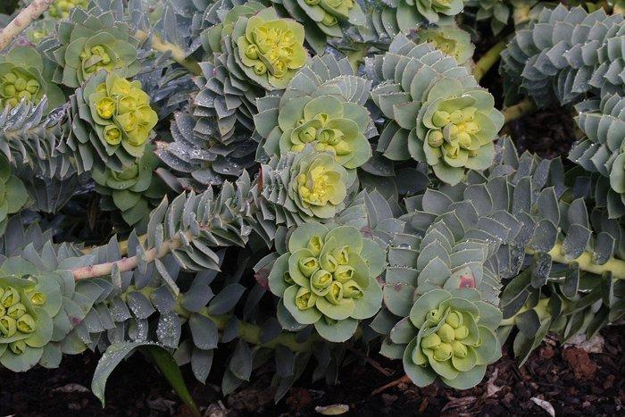 Decorativa pero invasiva: Qué es la Euphorbia myrsinites