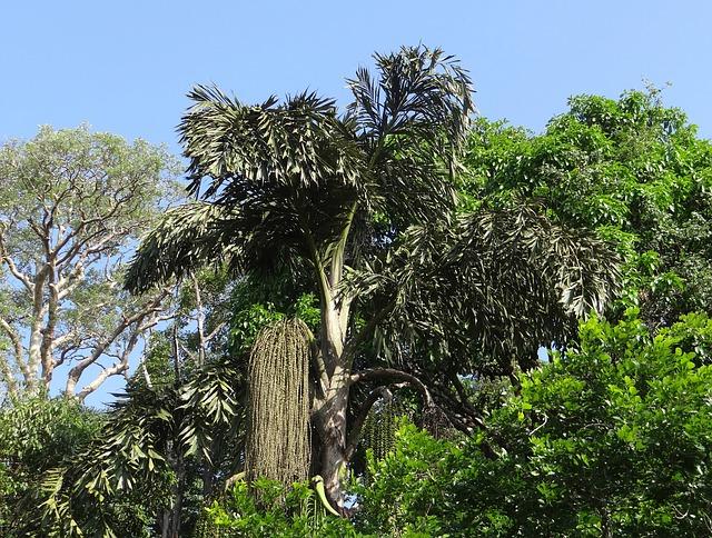 Cultivo de palmeras: La cola de pescado (Caryota urens)