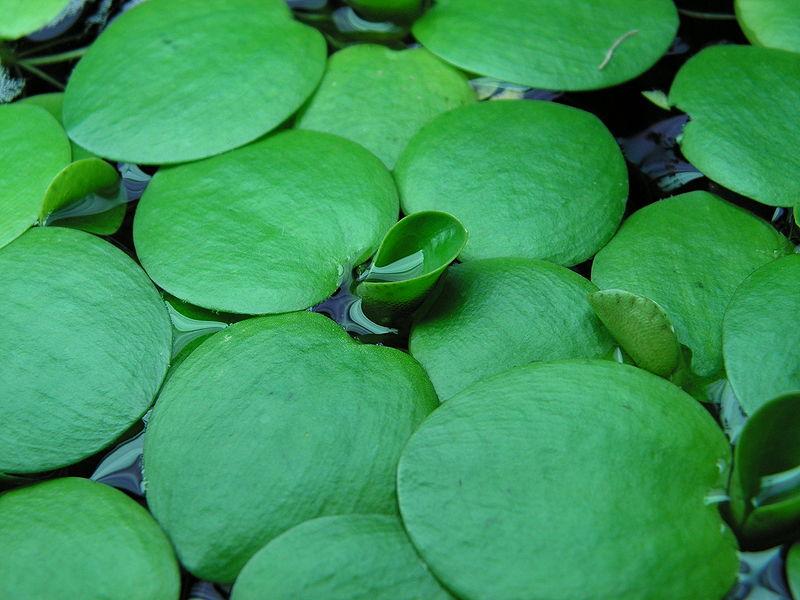 Plantas acuáticas de crecimiento rápido: La Limnobium laevigatum
