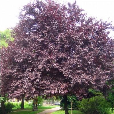 Árboles ornamentales: El cerezo de jardín (Prunus cerasifera)
