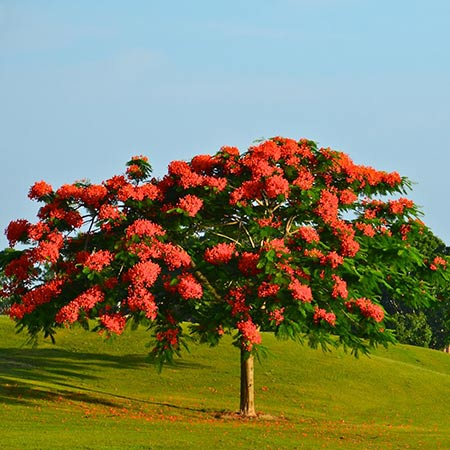 Árboles ornamentales: El chivato (Delonix regia)