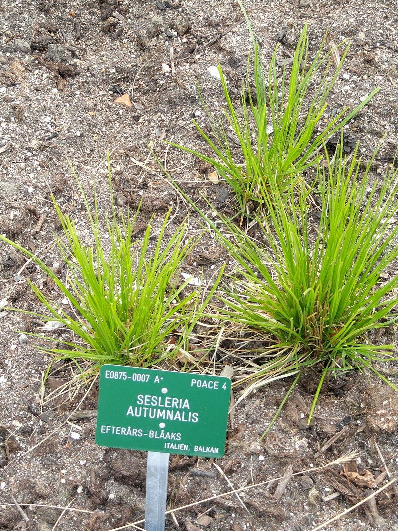 Césped de temporada fría: La Sesleria autumnalis