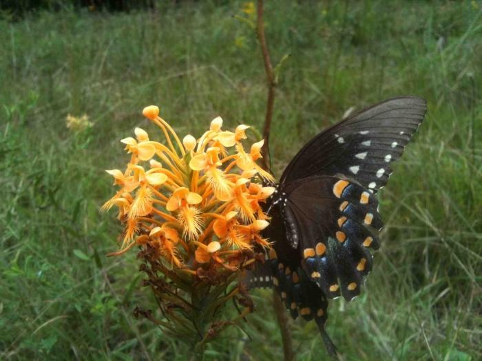 Palanthera ciliaris: Características y cultivo