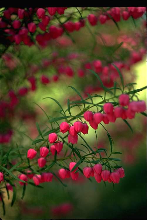 Boronia heterophylla: Cultivo, riego y cuidados