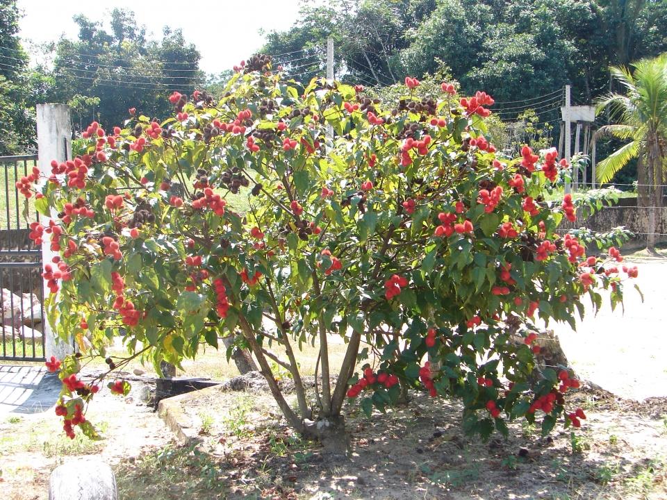 Árboles ornamentales: El achiote (Bixia Orellana)