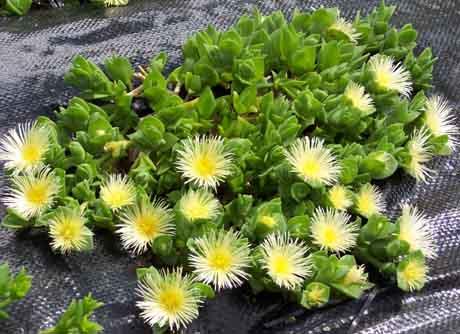 Plantas suculentas: La kanna (Sceletium tortuosum)