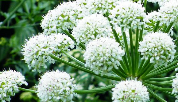 Angélica (Angelica archangelica): Cultivo, cuidados y propagación