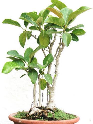 Cómo cultivar el árbol baniano (Ficus benghalensis) como planta de interior